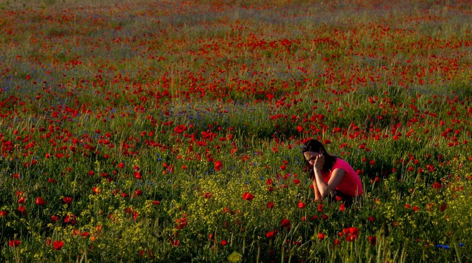 Ilyen gyönyörű a pipacsmező Mogyoród határában